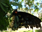The Cairns Birdwing (Ornithoptera euphorion) is a species of birdwing butterfly endemic to northeastern Australia, and is Australia's largest endemic butterfly species.